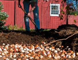 Grand Rapids MI bulb planting Tulip Bulbs Daffodil Bulbs
